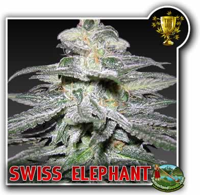Swiss Elephant
