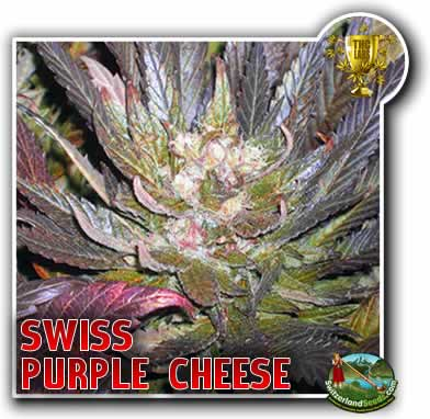 Swiss Purple Cheese